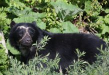 THE ANDEAN SPECTACLED BEAR