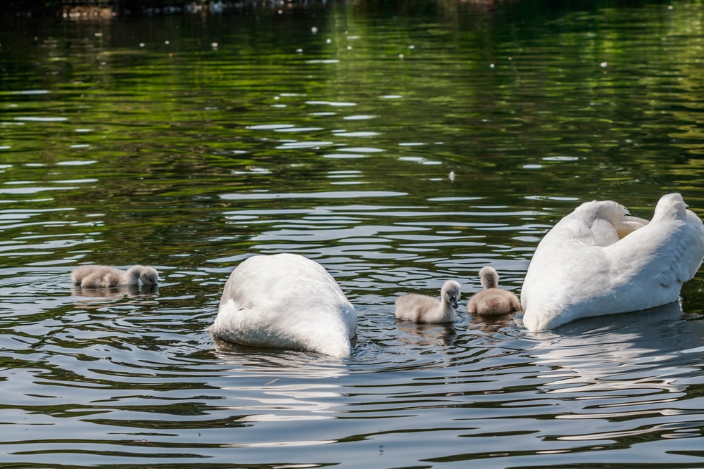 Wildfowl and other wildlife-hydepark London